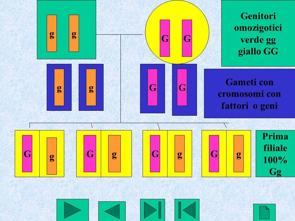 Genitori omozigotici. verde gg. giallo GG. g. g. G. G. g. g. G. G. Gameti con. cromosomi con.