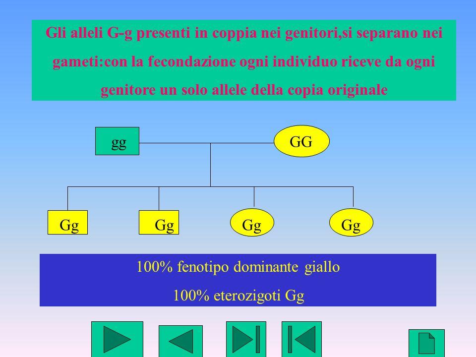 Gli alleli G-g presenti in coppia nei genitori,si separano nei