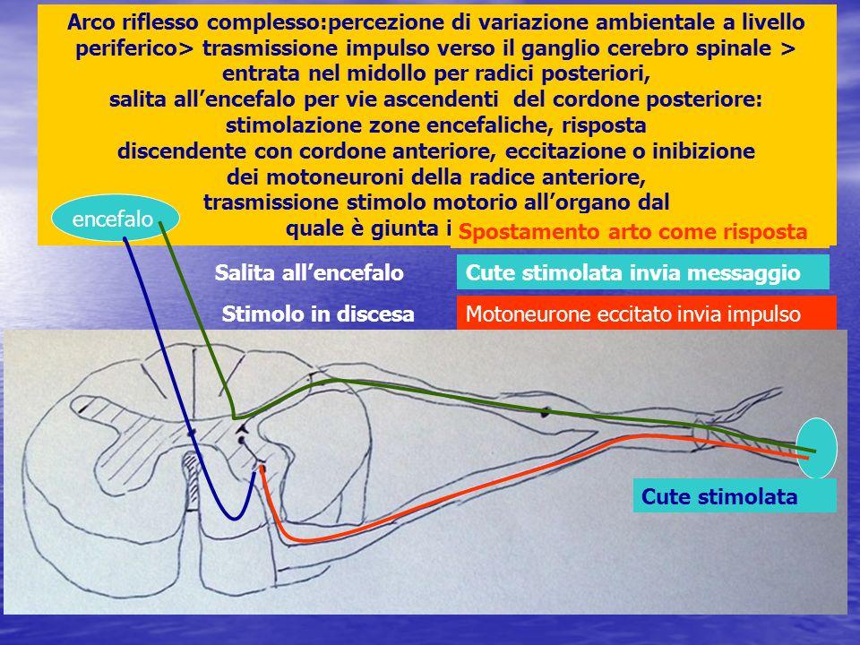 Arco riflesso complesso:percezione di variazione ambientale a livello periferico> trasmissione impulso verso il ganglio cerebro spinale > entrata nel midollo per radici posteriori, salita all'encefalo per vie ascendenti del cordone posteriore: stimolazione zone encefaliche, risposta discendente con cordone anteriore, eccitazione o inibizione dei motoneuroni della radice anteriore, trasmissione stimolo motorio all'organo dal quale è giunta informazione