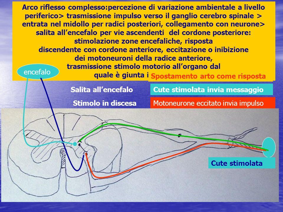 Arco riflesso complesso:percezione di variazione ambientale a livello periferico> trasmissione impulso verso il ganglio cerebro spinale > entrata nel midollo per radici posteriori, collegamento con neurone> salita all'encefalo per vie ascendenti del cordone posteriore: stimolazione zone encefaliche, risposta discendente con cordone anteriore, eccitazione o inibizione dei motoneuroni della radice anteriore, trasmissione stimolo motorio all'organo dal quale è giunta informazione