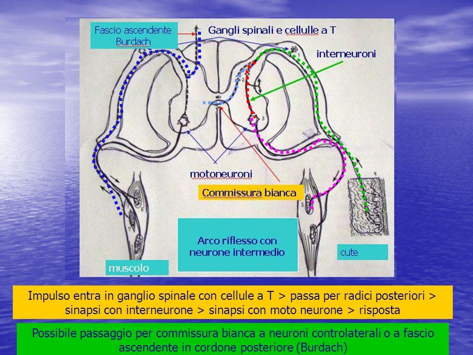 Impulso entra in ganglio spinale con cellule a T > passa per radici posteriori > sinapsi con interneurone > sinapsi con moto neurone > risposta