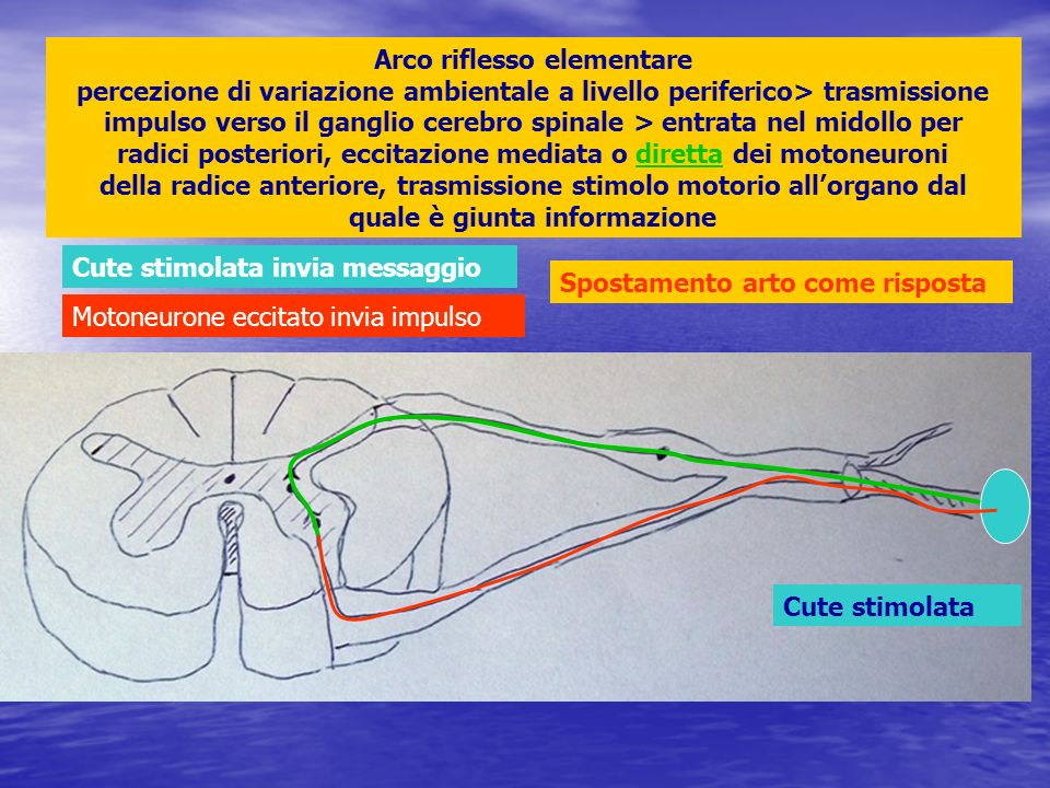 Arco riflesso elementare percezione di variazione ambientale a livello periferico> trasmissione impulso verso il ganglio cerebro spinale > entrata nel midollo per radici posteriori, eccitazione mediata o diretta dei motoneuroni della radice anteriore, trasmissione stimolo motorio all'organo dal quale è giunta informazione