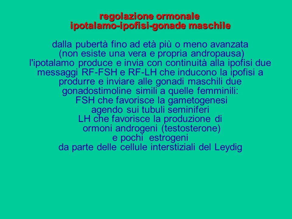 regolazione ormonale ipotalamo-ipofisi-gonade maschile dalla pubertà fino ad età più o meno avanzata (non esiste una vera e propria andropausa) l ipotalamo produce e invia con continuità alla ipofisi due messaggi RF-FSH e RF-LH che inducono la ipofisi a produrre e inviare alle gonadi maschili due gonadostimoline simili a quelle femminili: FSH che favorisce la gametogenesi agendo sui tubuli seminiferi LH che favorisce la produzione di ormoni androgeni (testosterone) e pochi estrogeni da parte delle cellule interstiziali del Leydig