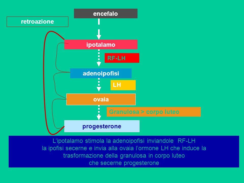 encefalo retroazione. ipotalamo. RF-LH. adenoipofisi. LH. ovaia. Granulosa > corpo luteo. progesterone.