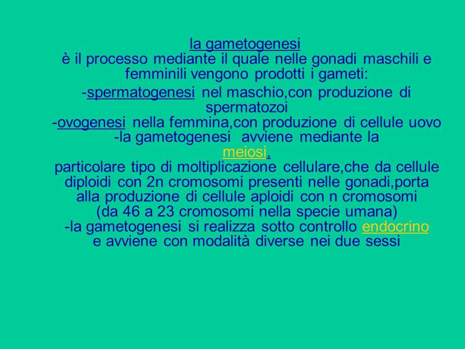 la gametogenesi è il processo mediante il quale nelle gonadi maschili e femminili vengono prodotti i gameti:
