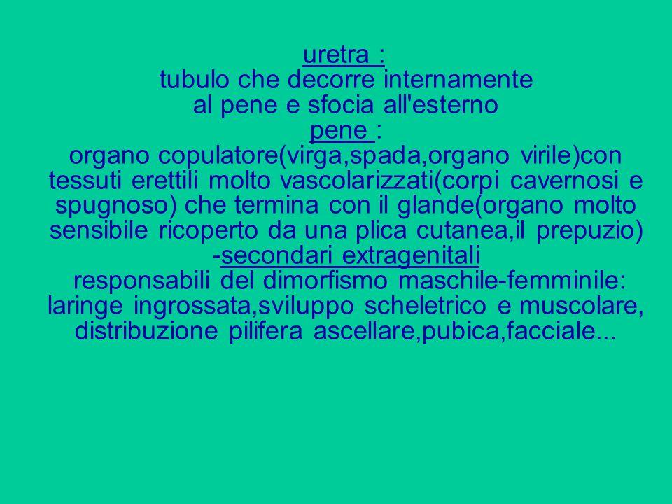 uretra : tubulo che decorre internamente al pene e sfocia all esterno pene : organo copulatore(virga,spada,organo virile)con tessuti erettili molto vascolarizzati(corpi cavernosi e spugnoso) che termina con il glande(organo molto sensibile ricoperto da una plica cutanea,il prepuzio) -secondari extragenitali responsabili del dimorfismo maschile-femminile: laringe ingrossata,sviluppo scheletrico e muscolare, distribuzione pilifera ascellare,pubica,facciale...