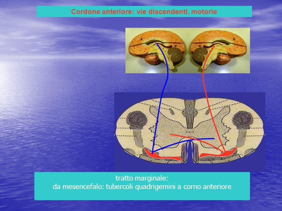 Cordone anteriore: vie discendenti, motorie