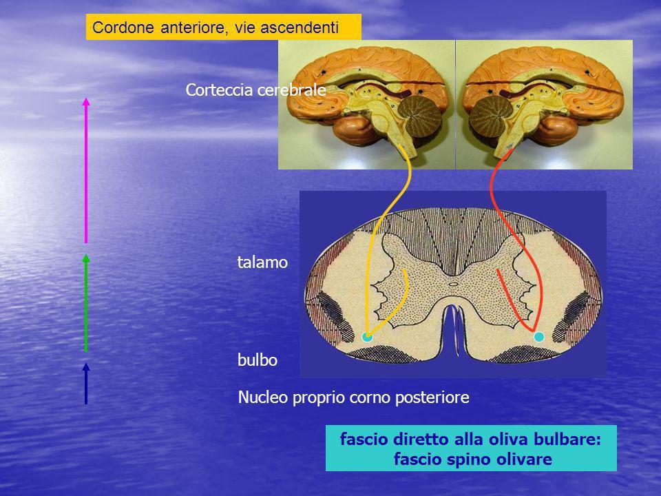 fascio diretto alla oliva bulbare: fascio spino olivare