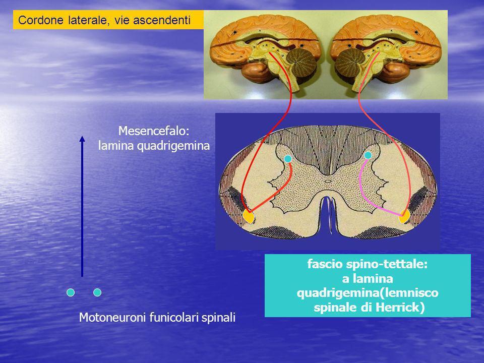Mesencefalo: lamina quadrigemina