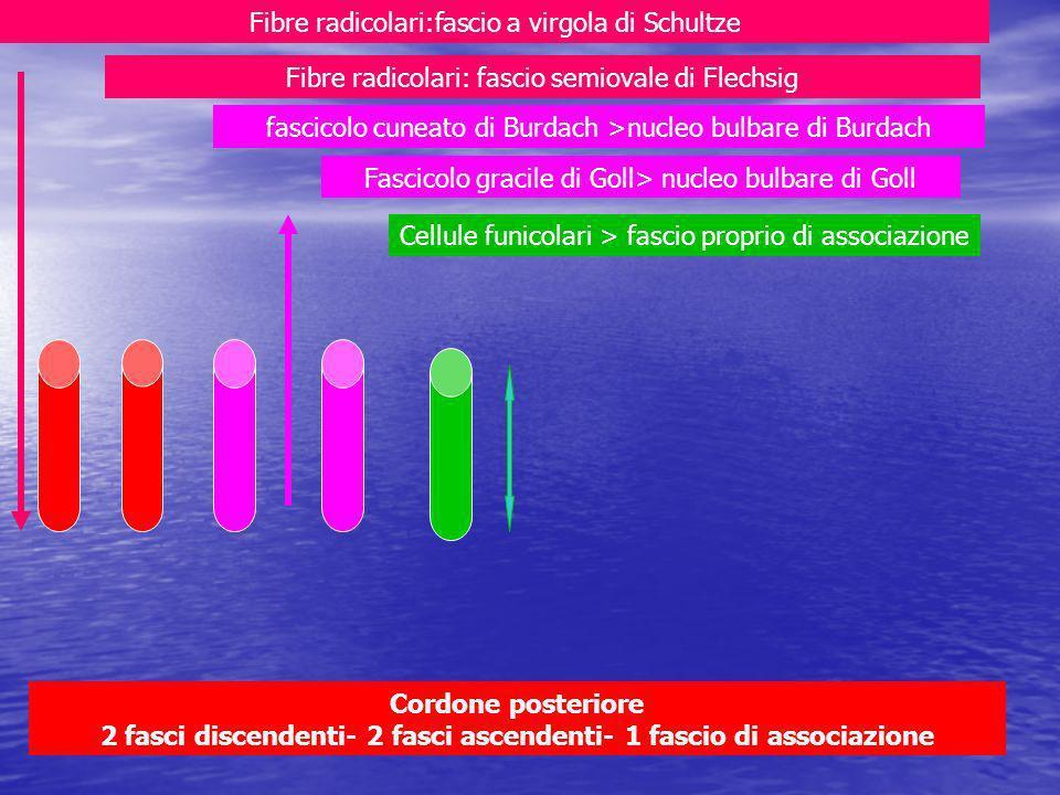 Fibre radicolari:fascio a virgola di Schultze