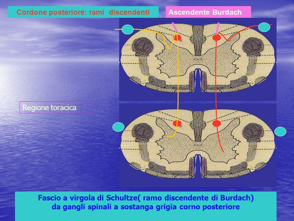 Cordone posteriore: rami discendenti