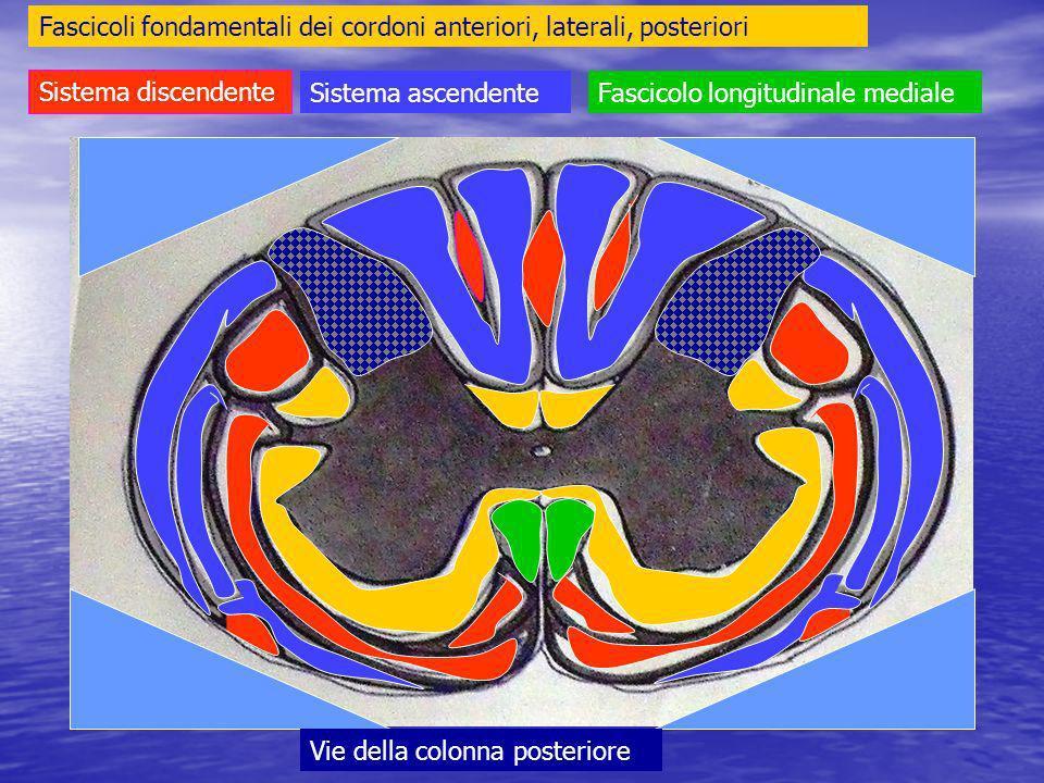 Fascicoli fondamentali dei cordoni anteriori, laterali, posteriori
