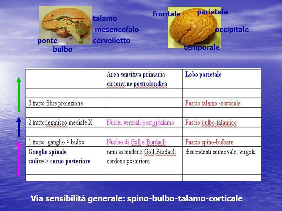 Via sensibilità generale: spino-bulbo-talamo-corticale