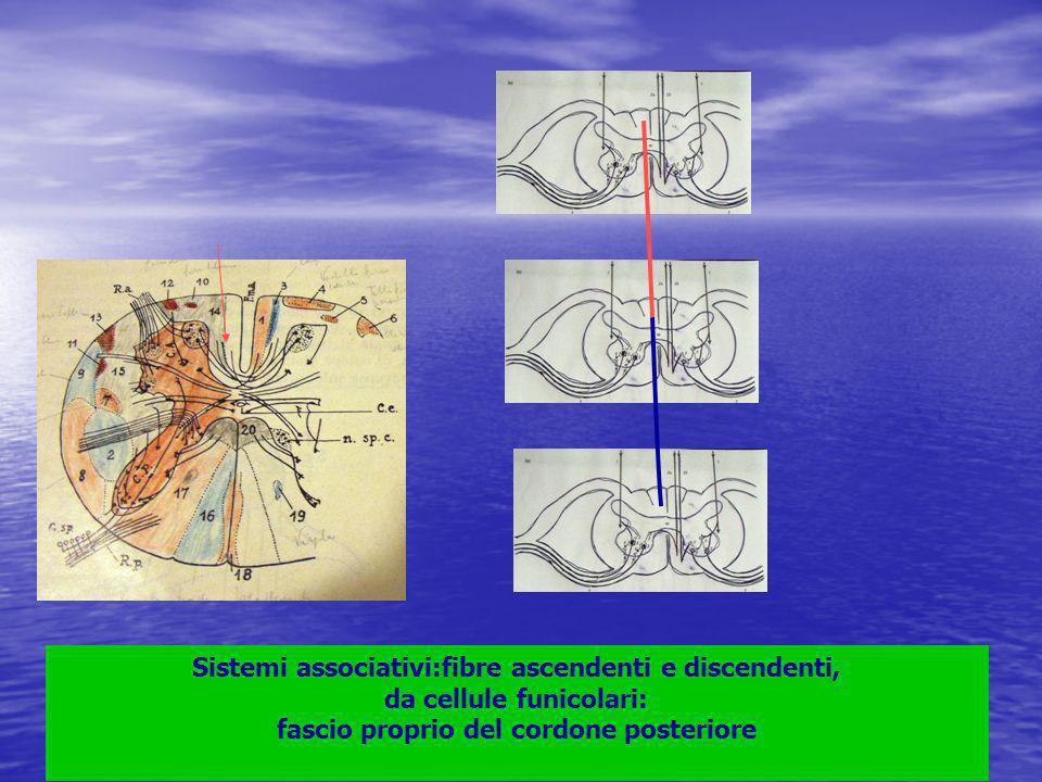 Sistemi associativi:fibre ascendenti e discendenti, da cellule funicolari: fascio proprio del cordone posteriore