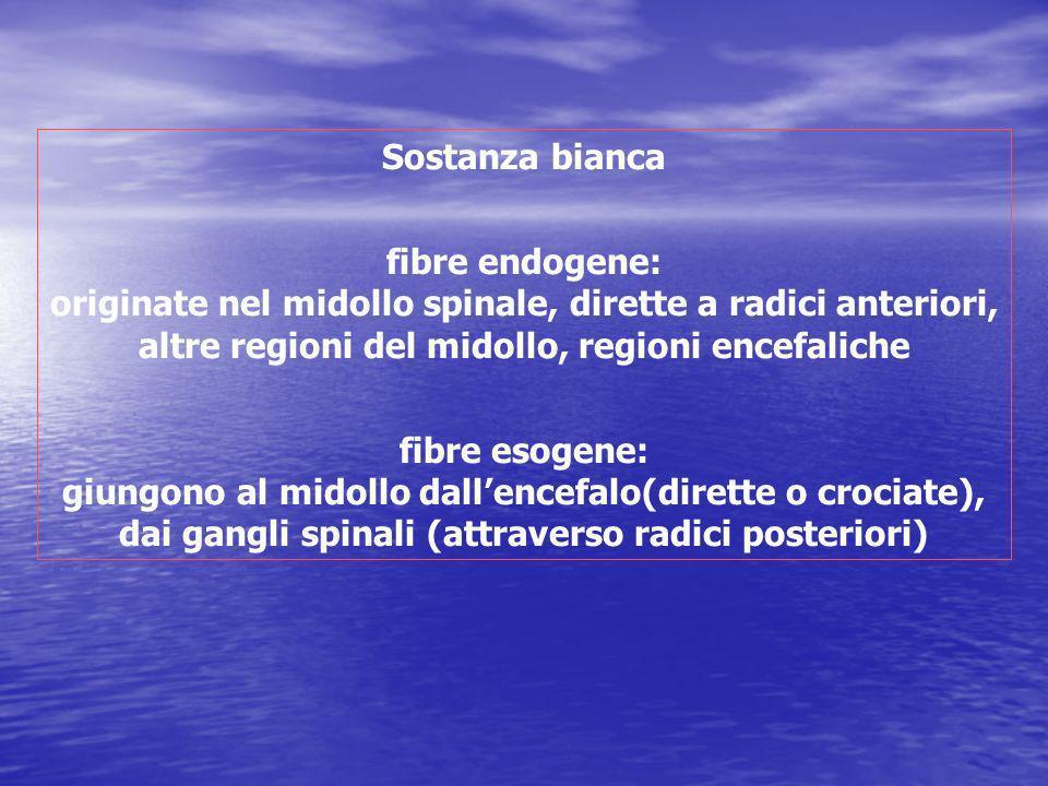 Sostanza bianca fibre endogene: originate nel midollo spinale, dirette a radici anteriori, altre regioni del midollo, regioni encefaliche.