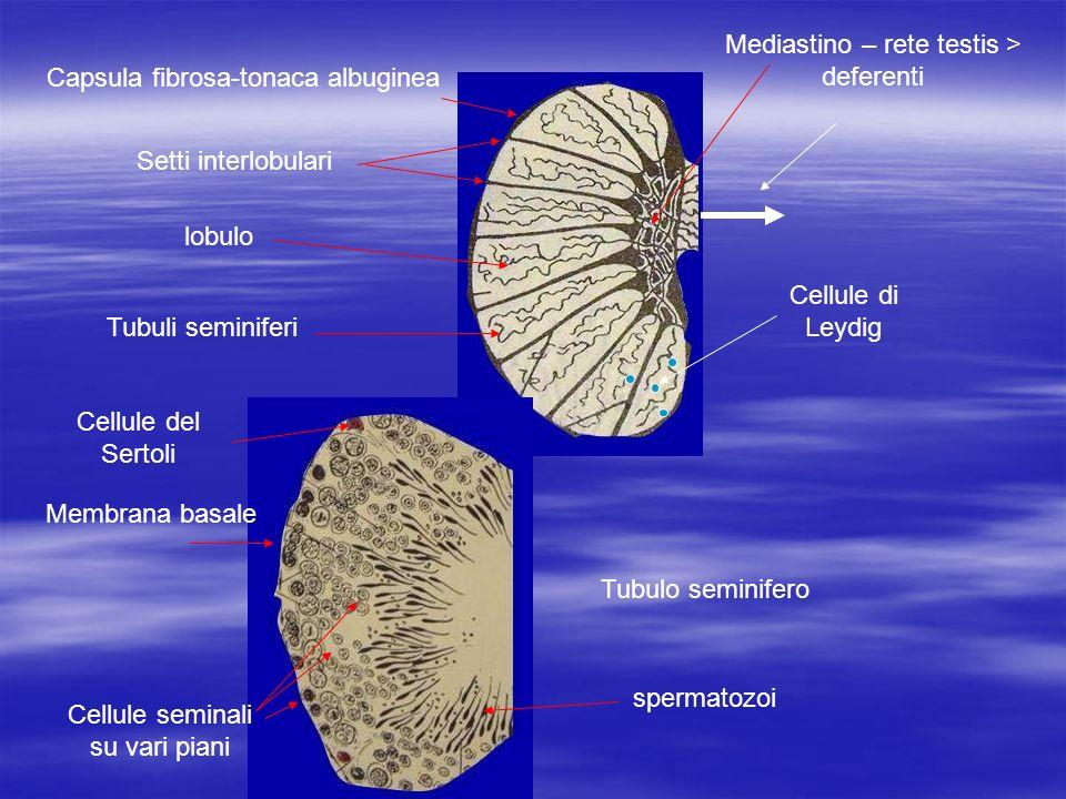 Capsula fibrosa-tonaca albuginea