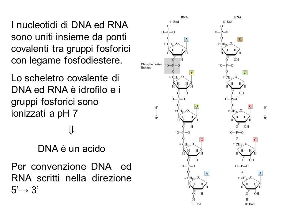 I nucleotidi di DNA ed RNA sono uniti insieme da ponti covalenti tra gruppi fosforici con legame fosfodiestere.