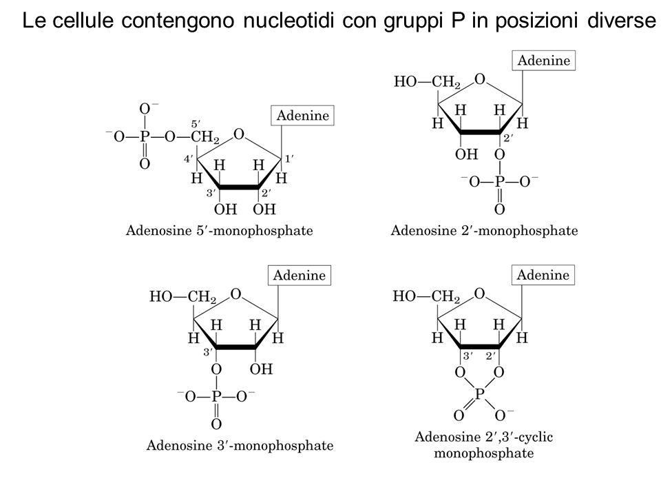 Le cellule contengono nucleotidi con gruppi P in posizioni diverse