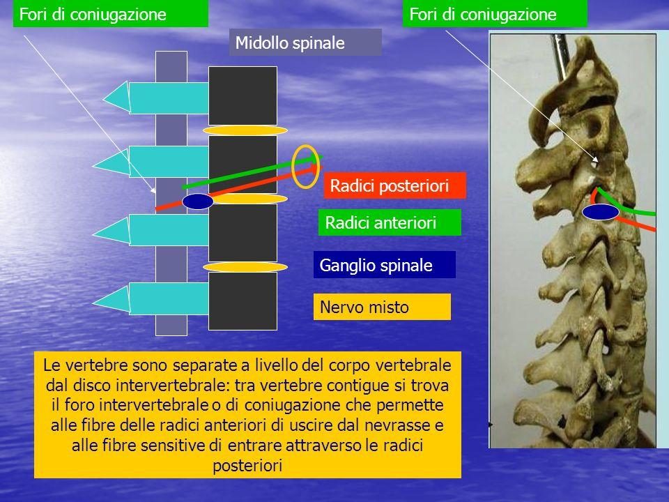 Fori di coniugazione Fori di coniugazione. Midollo spinale. Radici posteriori. Radici anteriori.