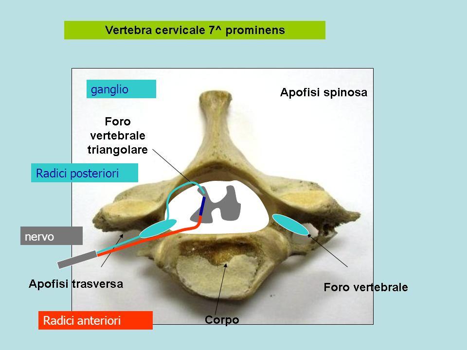 ganglio Radici posteriori nervo Radici anteriori