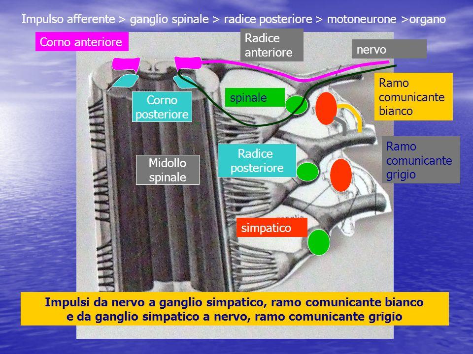 Impulso afferente > ganglio spinale > radice posteriore > motoneurone >organo