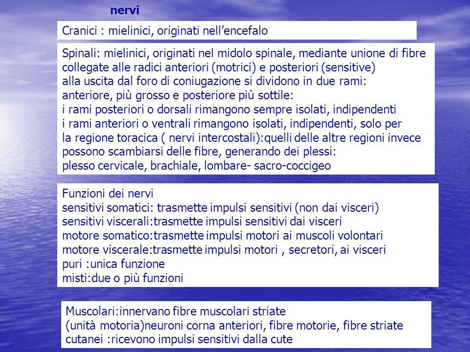 nervi Cranici : mielinici, originati nell'encefalo.