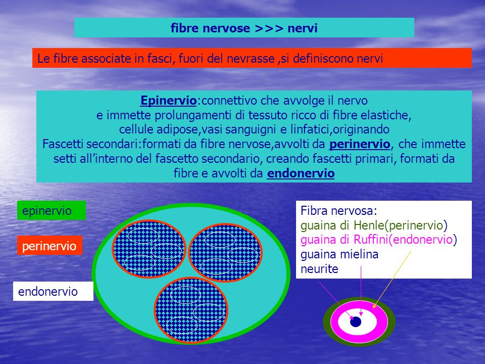 fibre nervose >>> nervi
