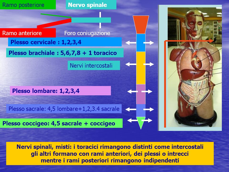 Ramo posteriore Nervo spinale. Ramo anteriore. Foro coniugazione. Plesso cervicale : 1,2,3,4. Plesso brachiale : 5,6,7,8 + 1 toracico.