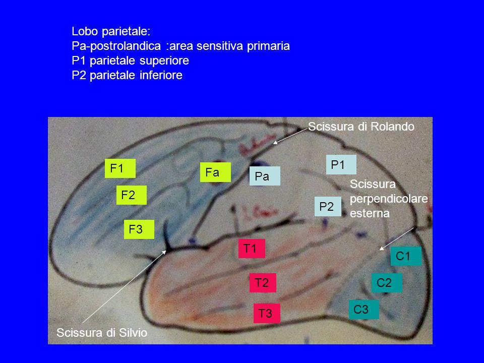 Lobo parietale: Pa-postrolandica :area sensitiva primaria P1 parietale superiore P2 parietale inferiore