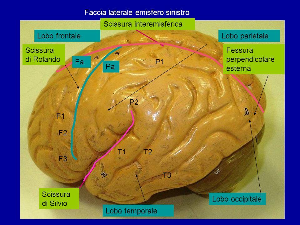 Faccia laterale emisfero sinistro