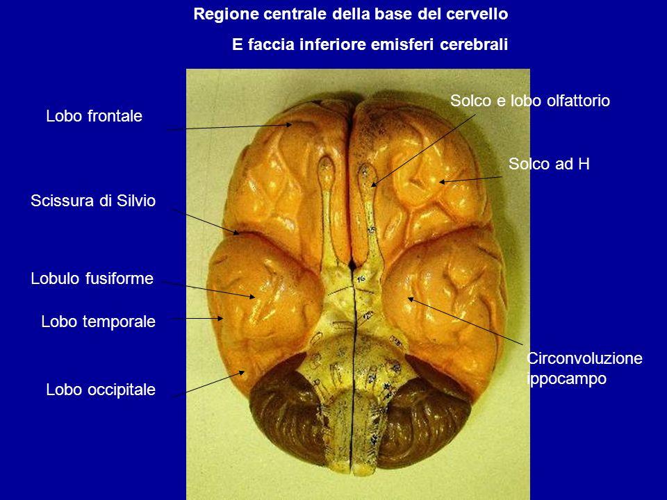 E faccia inferiore emisferi cerebrali