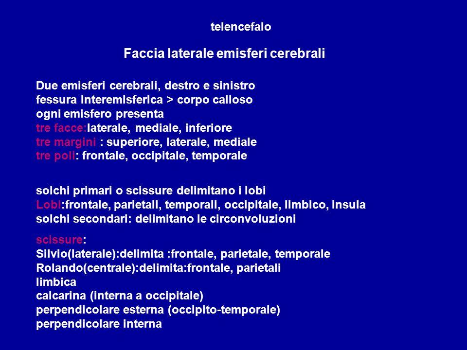 Faccia laterale emisferi cerebrali