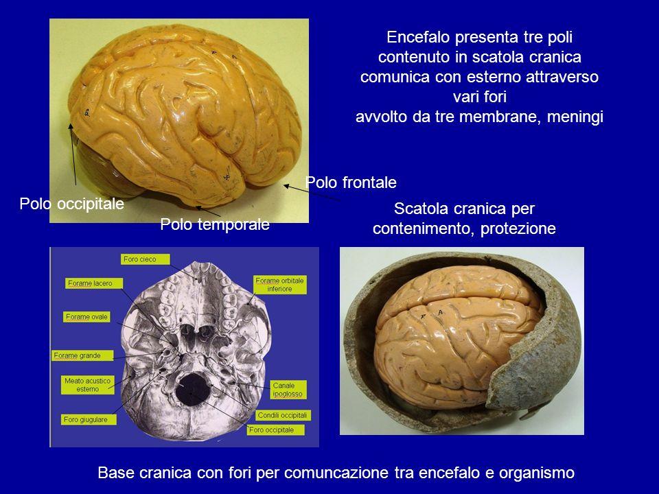 Scatola cranica per contenimento, protezione