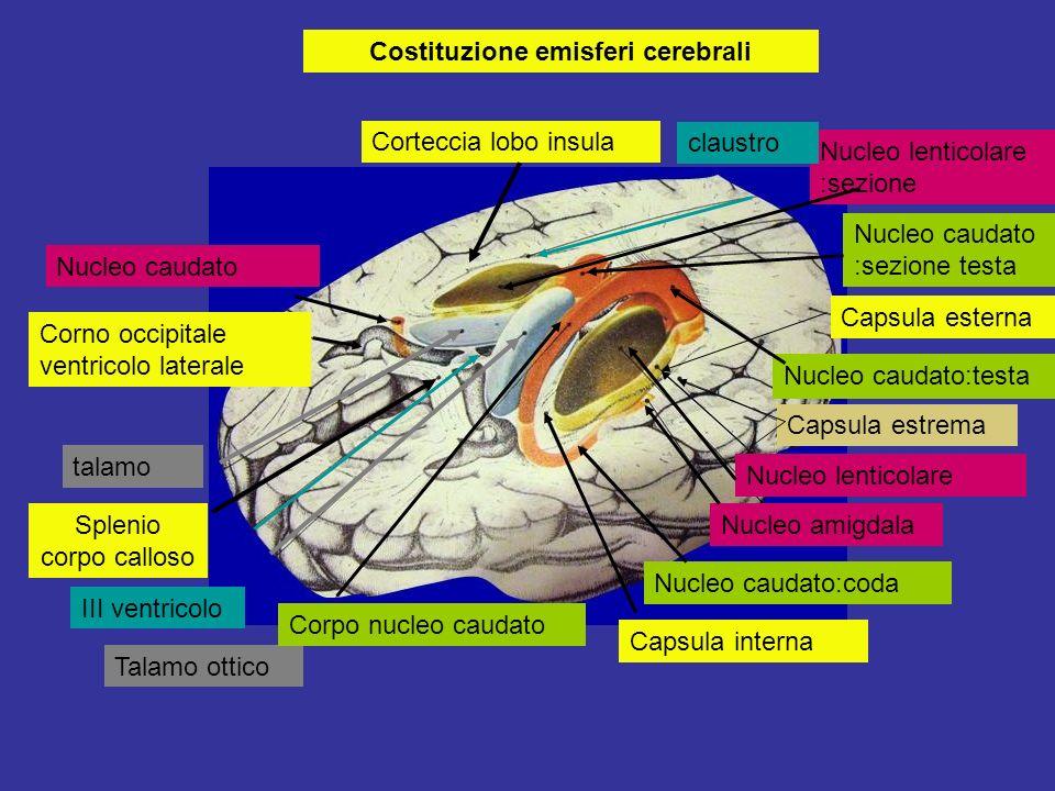 Costituzione emisferi cerebrali