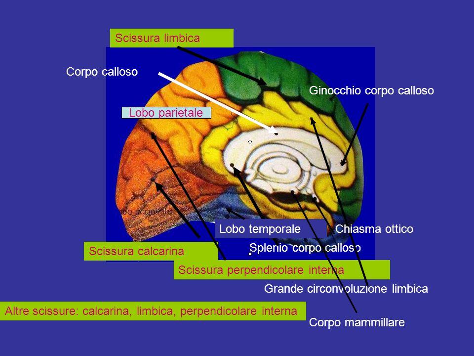 Scissura limbica Corpo calloso. Ginocchio corpo calloso. Lobo parietale. Lobo temporale. Chiasma ottico.