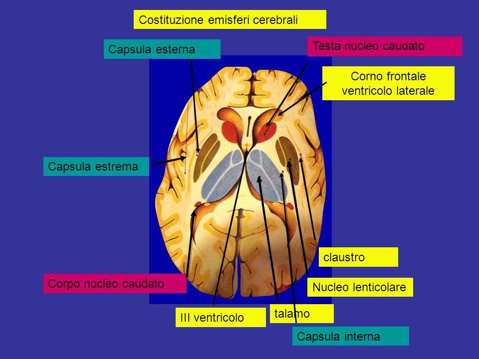 Corno frontale ventricolo laterale