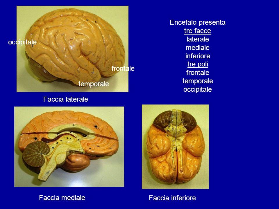 Encefalo presenta tre facce laterale mediale inferiore tre poli frontale temporale occipitale
