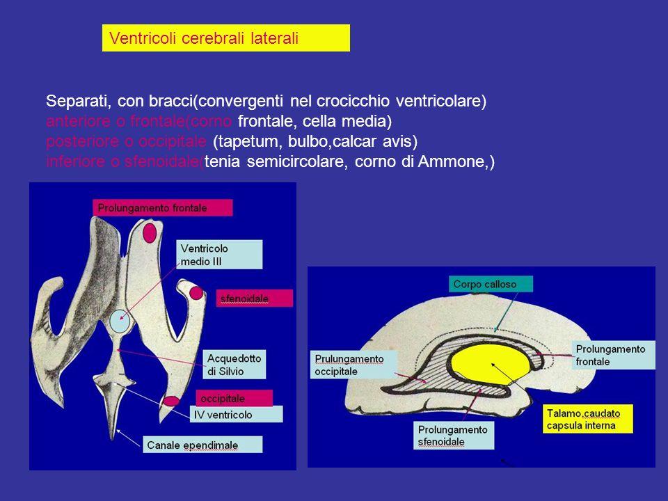 Ventricoli cerebrali laterali