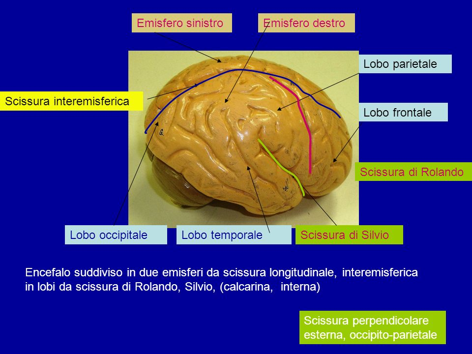Emisfero sinistro Emisfero destro. Lobo parietale. Scissura interemisferica. Lobo frontale. Scissura di Rolando.