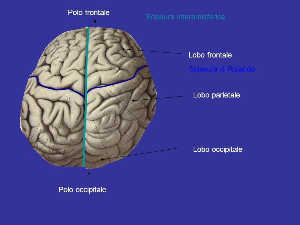 Polo frontale Scissura interemisferica. Lobo frontale. Scissura di Rolando. Lobo parietale. Lobo occipitale.