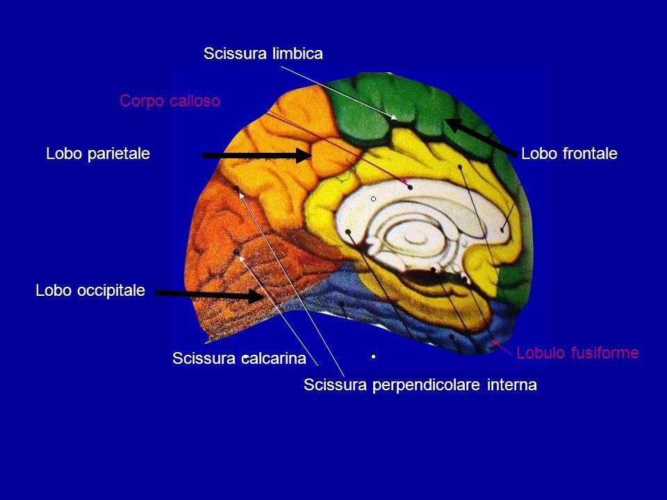 Scissura limbicaCorpo calloso. Lobo parietale. Lobo frontale. Lobo occipitale. Lobulo fusiforme. Scissura calcarina.
