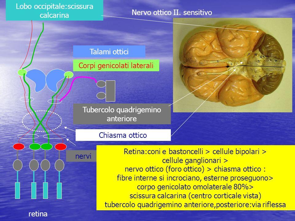 Lobo occipitale:scissura calcarina Nervo ottico II. sensitivo