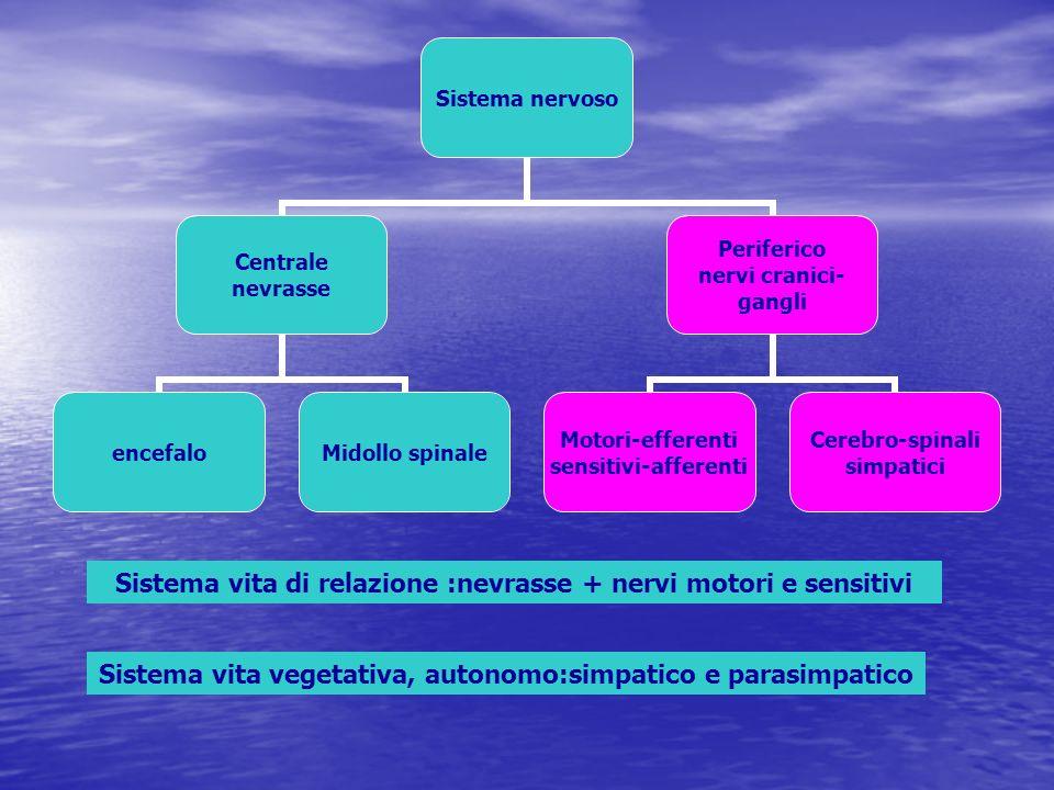 Sistema vita di relazione :nevrasse + nervi motori e sensitivi