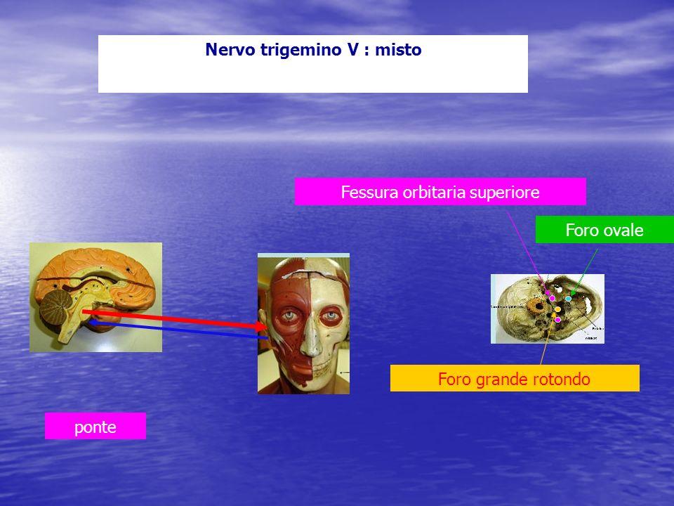 Nervo trigemino V : misto