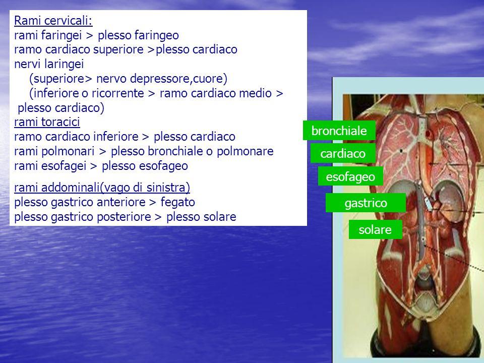 Rami cervicali: rami faringei > plesso faringeo ramo cardiaco superiore >plesso cardiaco nervi laringei (superiore> nervo depressore,cuore) (inferiore o ricorrente > ramo cardiaco medio > plesso cardiaco) rami toracici ramo cardiaco inferiore > plesso cardiaco rami polmonari > plesso bronchiale o polmonare rami esofagei > plesso esofageo
