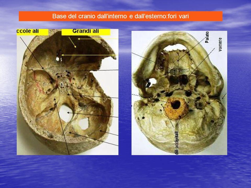 Base del cranio dall'interno e dall'esterno:fori vari