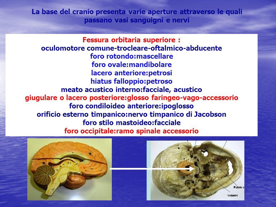 La base del cranio presenta varie aperture attraverso le quali passano vasi sanguigni e nervi