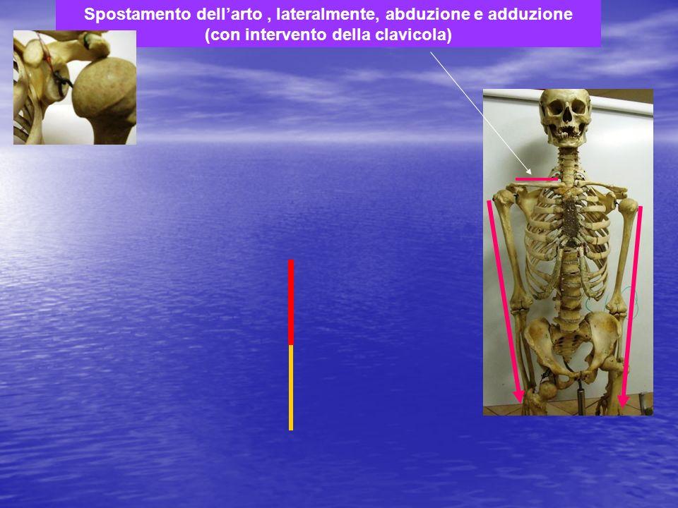 Spostamento dell'arto , lateralmente, abduzione e adduzione (con intervento della clavicola)
