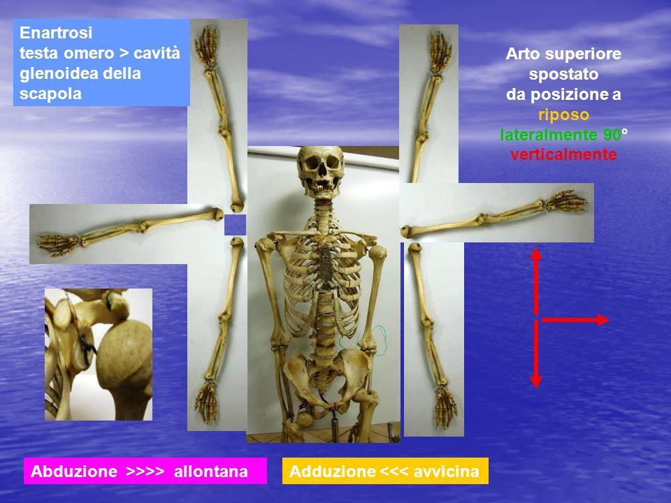 Enartrosi testa omero > cavità glenoidea della scapola
