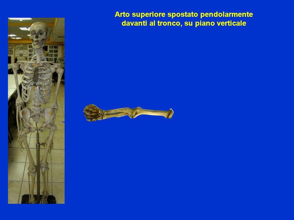 Arto superiore spostato pendolarmente davanti al tronco, su piano verticale